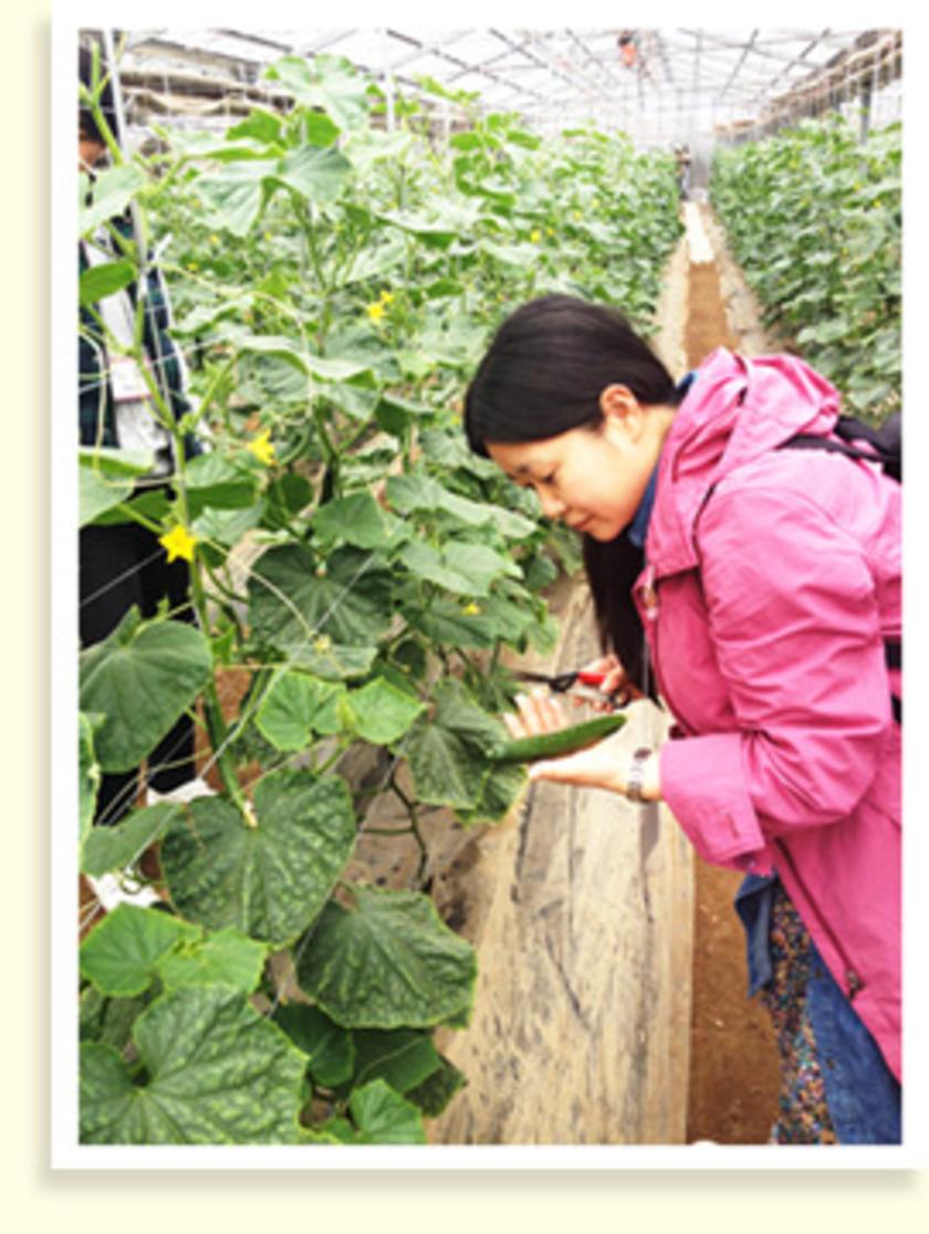 きゅうりも収穫します。ビニールハウス内はきゅうりの栽培に適した温度・湿度に設定されているので、ひと足早く夏が来た気分でした。