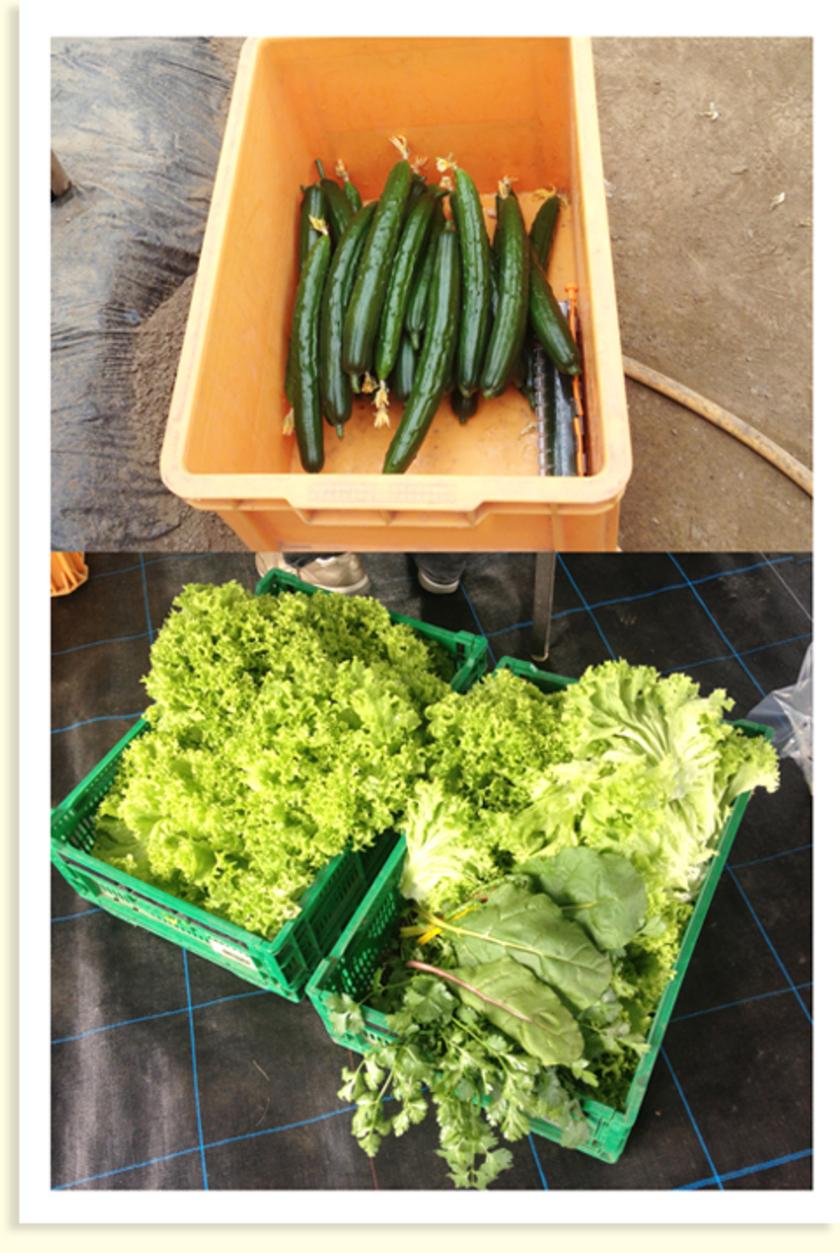 きゅうり、サニーレタス、わさび菜、パクチーなどたくさんの野菜を収穫しました。